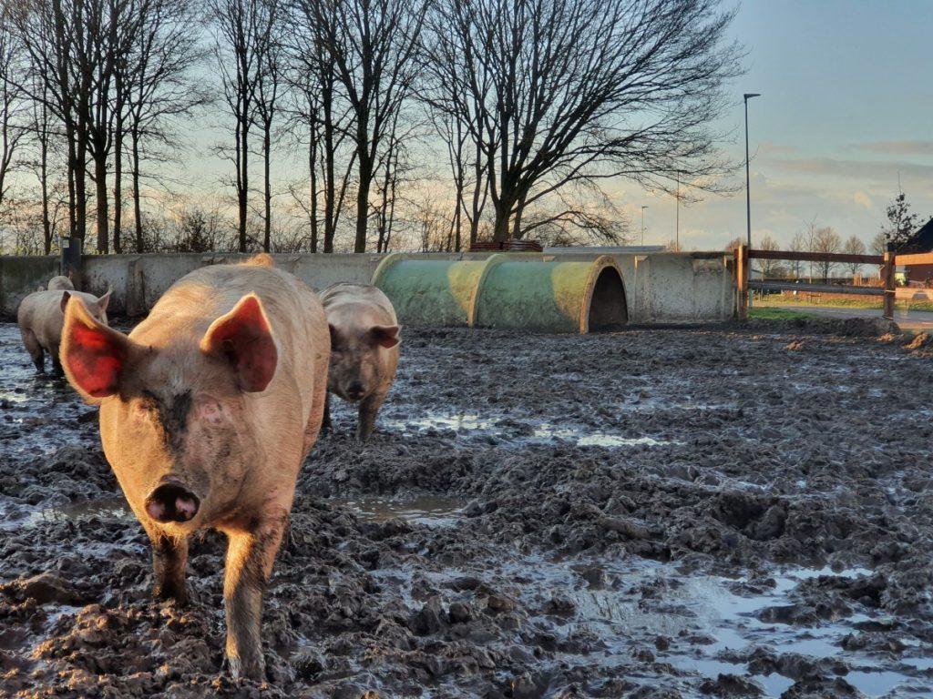 Varkens met een modderbad van 't Krulstaartje - foto 7 weetjes over varkens - foto 7 weetjes over varkens