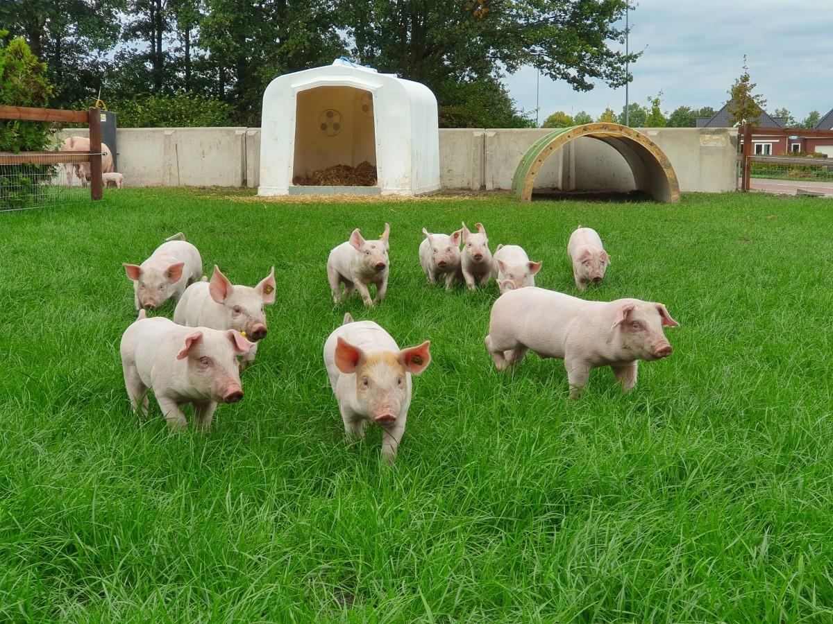 Een zeug krijgt gemiddeld 13 biggen - foto 7 weetjes over varkens