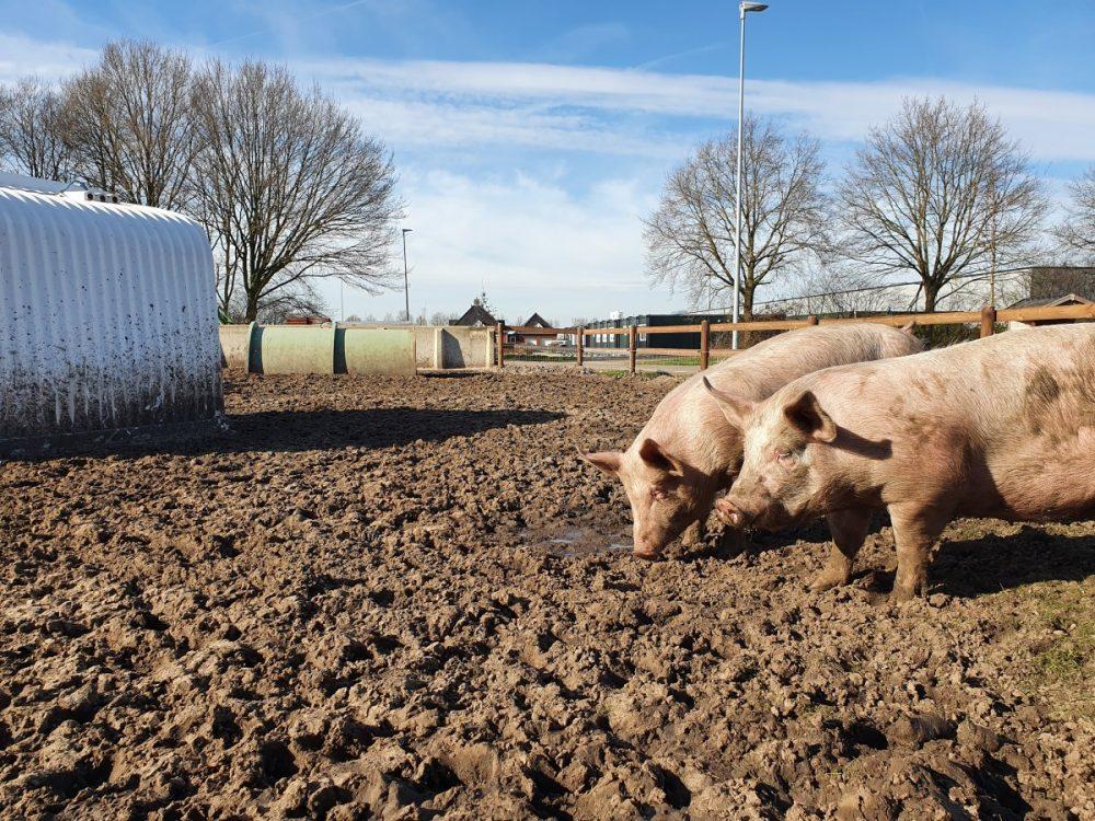 diervriendelijk varkensvlees gemaakt van weidevarkens van 't Krulstaartje