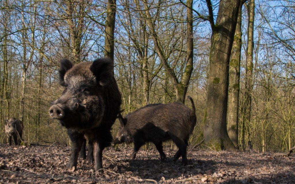 Wilde zwijnen zijn familie van varkens - foto 7 weetjes over varkens